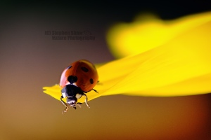 Should she make the jump ? A #ladybird teetering on the edge of a #sunflower #petal !